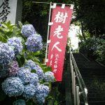 通勤路の紫陽花